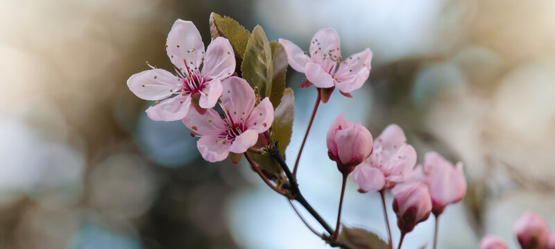 Spring flower background banner panorama - Pink beautiful blooming cherry blossoms ( Prunus )with soft bright bokeh
