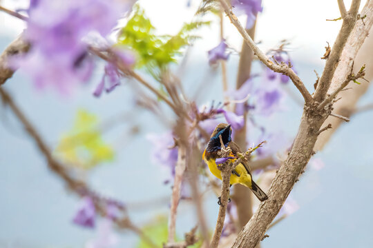 Beautiful yellow bird Olive-backed Sunbird