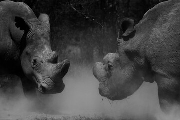 Fototapeta The Last Northern White Rhinos