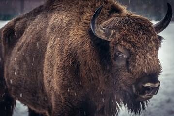 Fototapeta Portrait of European bison in Bialowieza Forests, Podlasie region of Poland