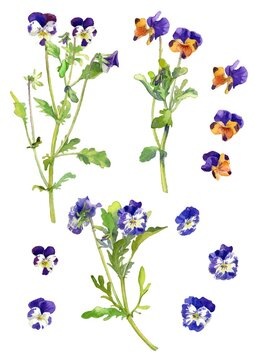 Vector Design Parts of Pansies