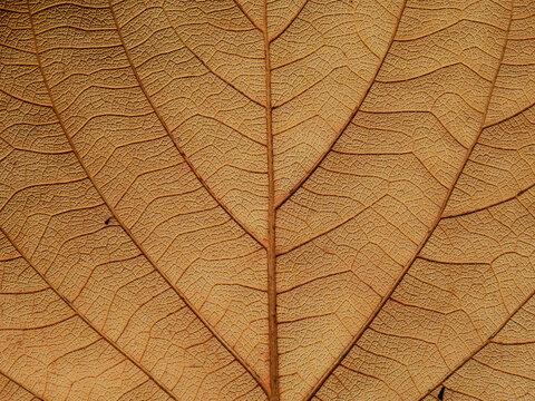 vein of brown leaf texture, autumn background