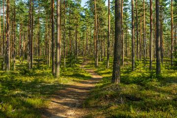 Walking path in a beautiful pine forest in Sweden
