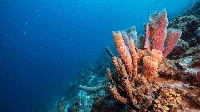 Seascape with fish, coral and sponge in coral reef of Caribbean Sea, Curacao
