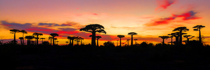 Fototapeta Painting of panoramic view of Avenue of the Baobabs with leaves during the red sky and sunset with red clouds near Morondava, Madagascar  obraz