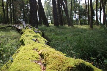 Fototapeta Las drzewa kłoda Słowiński Park Narodowy obraz