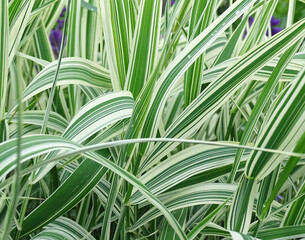 Fototapeta Phalaris arundinacea or Canary grass. Foliage of striped grass with green and white leaves