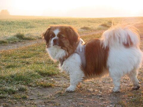 Kleiner Hund am frühen Morgen bei Sonnenaufgang - Tibetan Spaniel, Tibet Spaniel, Tibetspaniel, Tibetanspaniel
