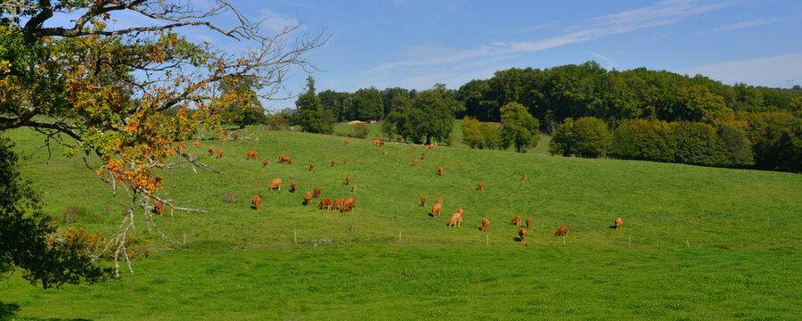 Panoramique paysage verdoyant de la Creuse et ses vaches aux environs de Crozant (23160), département de la Creuse en région Nouvelle-Aquitaine, France.