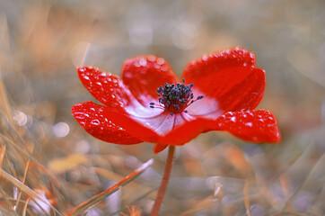 Obraz Kwiat Zawilec (Anemone) Red flowers. Flower in dew - fototapety do salonu