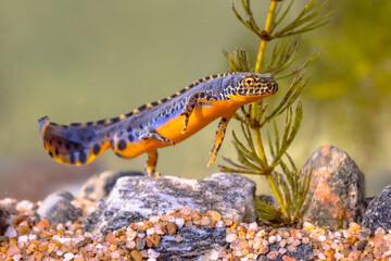 Fototapeta Alpine newt aquatic animal swimming in freshwater habitat