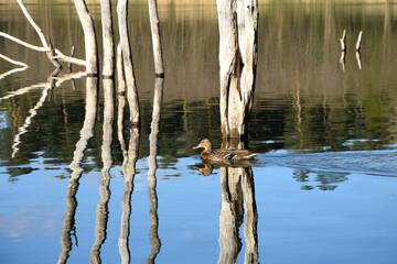 Fototapeta Samica kaczki krzyżówki pływa po jeziorze obraz