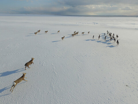 空撮・雪原を走るエゾシカの群(北海道・標津町)