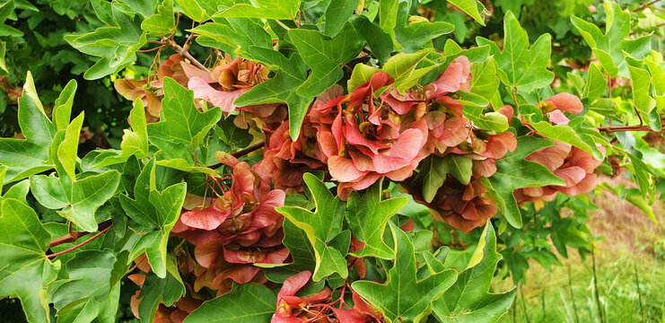 Panorama of red Aser seeds growing on a tree.