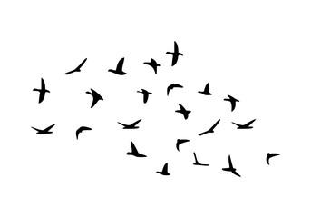 Fototapeta Flock of flying birds isolated on white background
