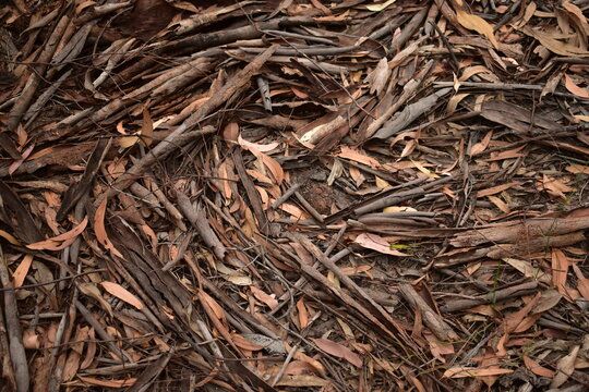 Leaf litter of dry brown leaves and curls of bark from eucalyptus tree