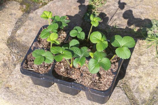 Little strawberries plant in flowerpots