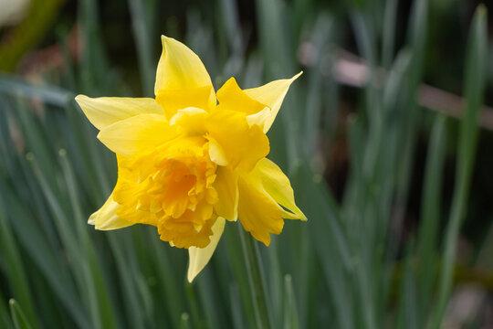 Daffodil in a garden