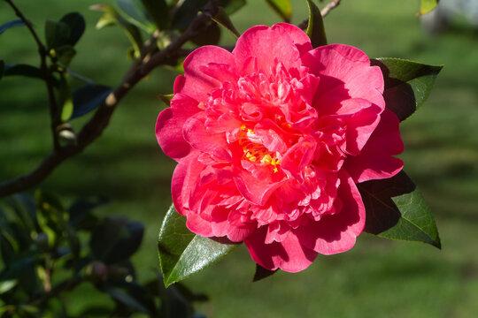 Pink flower of camellia
