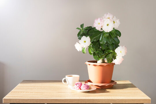 Adenium plant in a pot and cup of coffee with sweets on the table. Good morning concept.