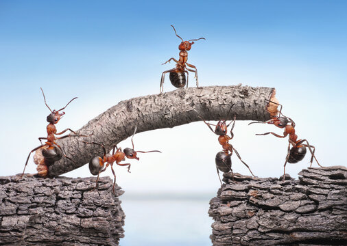 team of ants works constructing bridge, teamwork concept