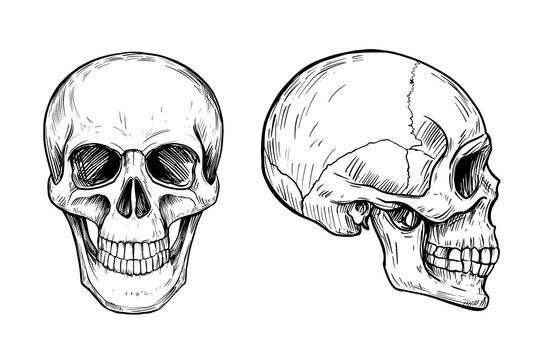Human skull. Anatomical illustration. Vector outline