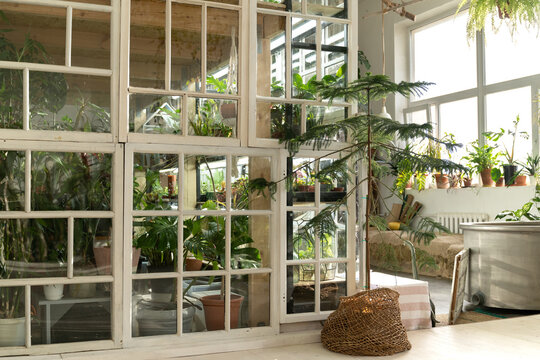 Home garden, orangery or greenhouse interior with houseplants, old wooden furniture and big windows. House gardening concept. Cozy indoor winter garden with tropical plants in retro style room