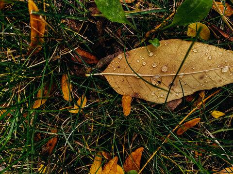 Orange Autumn leaf in dewy grass