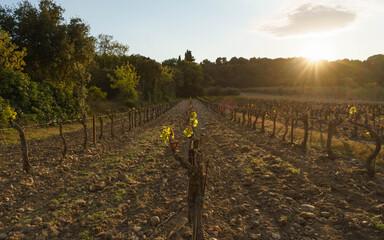 Frost damage on a vineyard (1) Fototapete