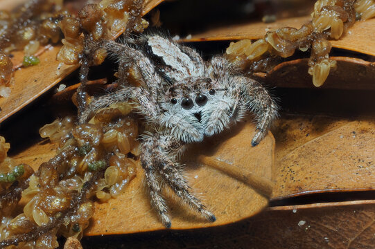 A Close-up Focus Stacked Image of a Tan Jumping Spider in Leaf Litter