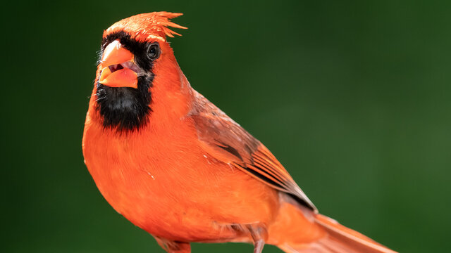 Northern Cardinal Making Eye Contact While Perched on a Tree Branch