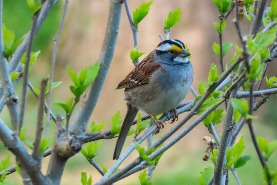 white throated sparrow perched