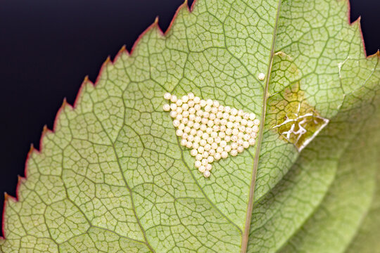 Insect eggs laid on the backside of rose leaf