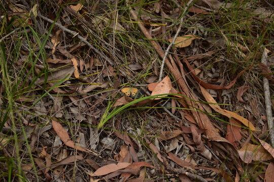 orange ringlet butterfly resting on the ground amongst leaf litter and perennial grasses