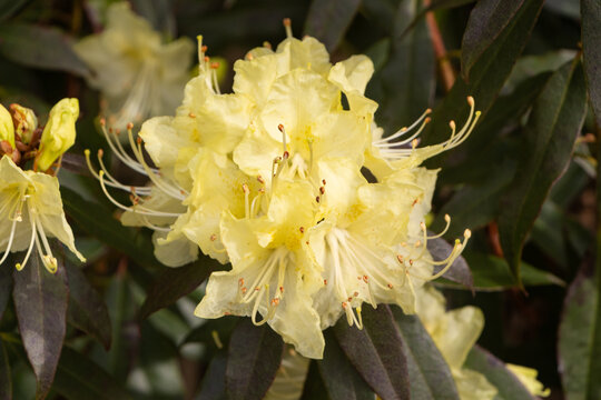 Yellow rhododendron flowers in a garden