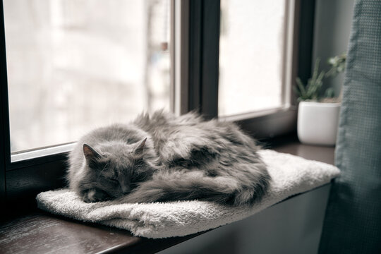 Grey cat is resting on the wooden window sill in the modern house interior. Cat is sleeping. Domestic cat living in good conditions concept