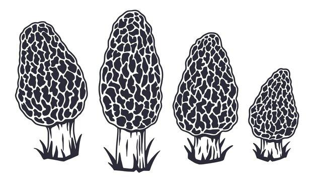 Mushroom picking of morel. Vegetarian fungus morels for food. Nature fungi for healthy nutrition. Edible mushrooms