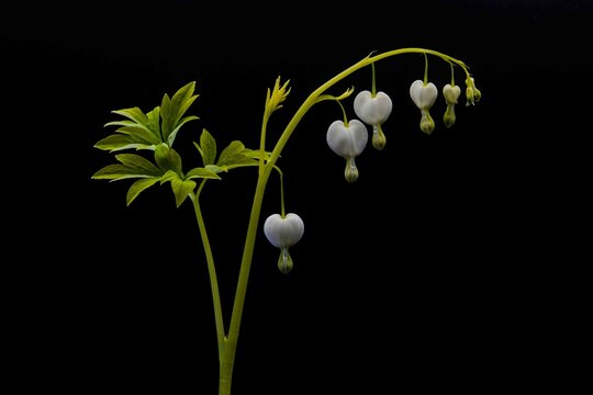 White Bleeding Heart plant isolated on a black background