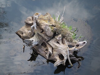 Fototapeta korzeń, woda, drzewo obraz