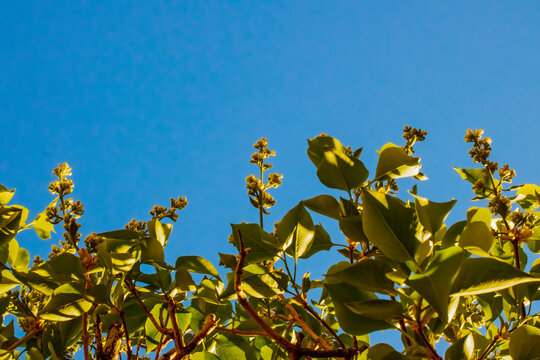 Looking up through a budding lilac bush to the blue spring sky