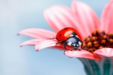Fototapeta Extreme macro shots, Beautiful ladybug on flower leaf defocused background. obraz