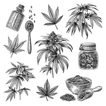 Cannabis or hemp engraved illustrations set