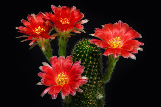 Close up of pink cactus flower.