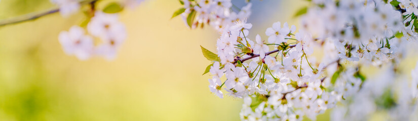 Beautiful panoramic spring scenery with cherry blossom and bokeh background
