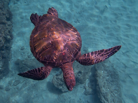 Hawaiian Green Sea Turtle From Above with Fish Hook and Line in Neck