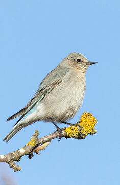 Female Mountain bluebird