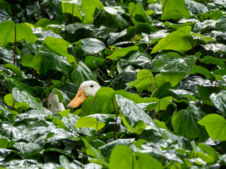 White duck sits in thicket of greenery. Farm bird hid in leaves to hatch its eggs. Green leaves are wet from rain.