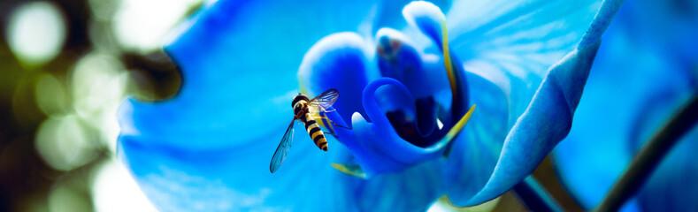 Fototapeta Korzystanie z darów natury, pszczoła, kwiat, niebieski storczyk