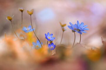 Przylaszczki ( Hepatica Nobiliss Mill ) Blue flowers