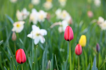Czerwony piękny tulipan na zielonej łące.